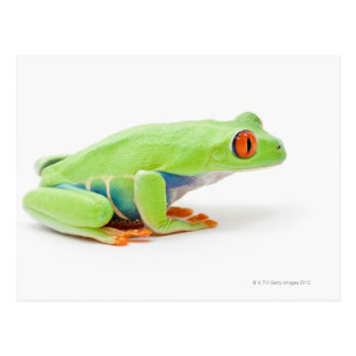 Red-Eyed Tree Frog (Agalychnis Callidryas) Postcard