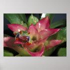 Red-eyed tree frog Agalychnis callidryas) Poster