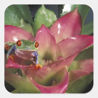 Red-eyed tree frog Agalychnis callidryas) Square Sticker