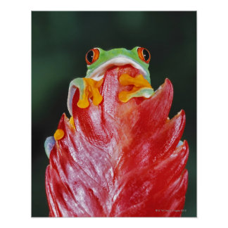 Red-Eyed Tree Frog on Leaf Poster
