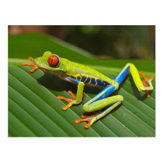 Red eyed tree frog post card