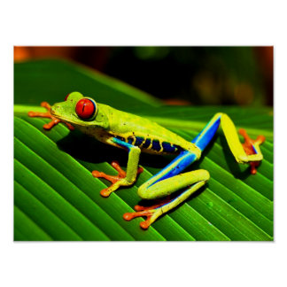Red-eyed Tree Frog Poster