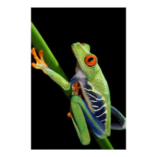 red eyed tree frog print