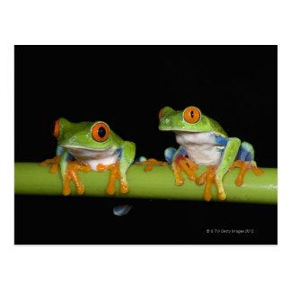 Red-eyed Tree Frogs (Agalychnis callidryas) on Postcard