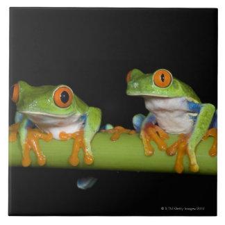 Red-eyed Tree Frogs (Agalychnis callidryas) on Tile