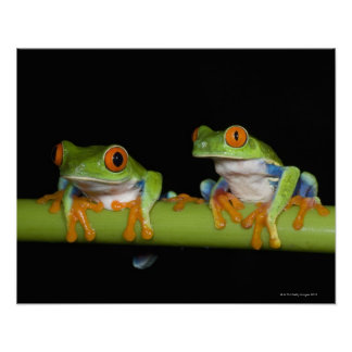 Red-eyed Tree Frogs (Agalychnis callidryas) Poster