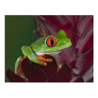 Red-eyed treefrog postcard