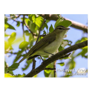 Red-eyed Vireo Postcard