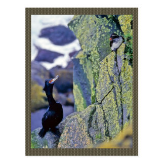 Red-faced Cormorant and Parakeet Auklet Postcard