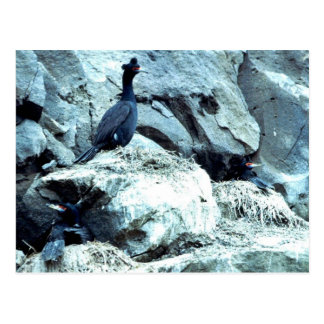 Red-faced Cormorant Postcard