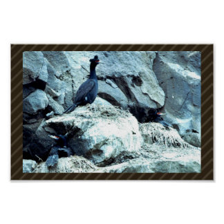 Red-faced Cormorant Poster