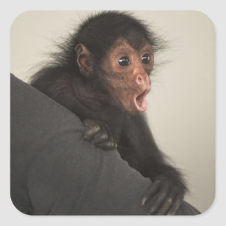 Red-faced Spider Monkey Ateles paniscus) Square Sticker
