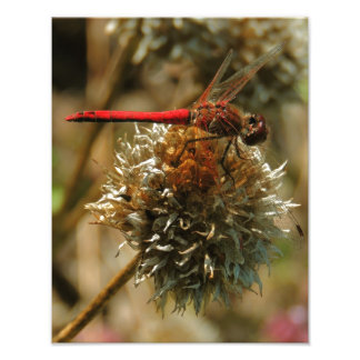 Red Fall Dragonfly Photographic Print