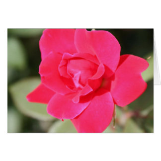 Red Favorite Floribunda Rose Card