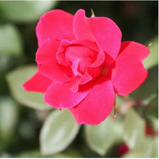 Red Favorite Floribunda Rose Cutout