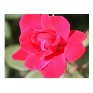 Red Favorite Floribunda Rose Postcard