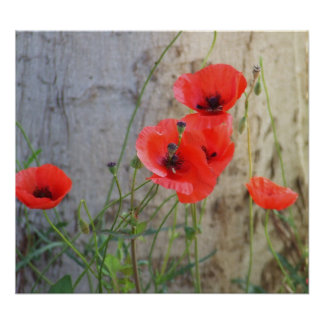 Red Field Corn Poppies Poster