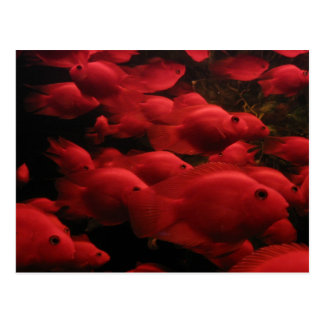 Red Fish Postcard