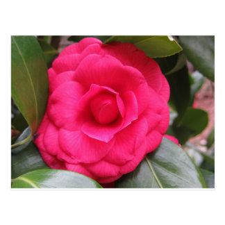 Red flower of Camellia japonica Rachele Odero Postcard