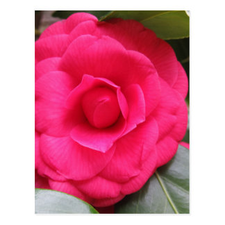 Red flower of Camellia japonica Rachele Odero Postcard