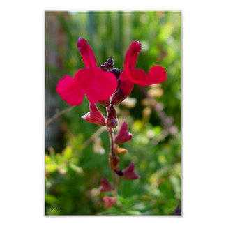 red flower posters