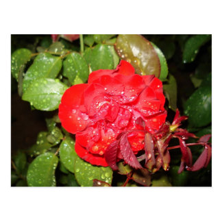 Red Flower with Raindrops Postcard