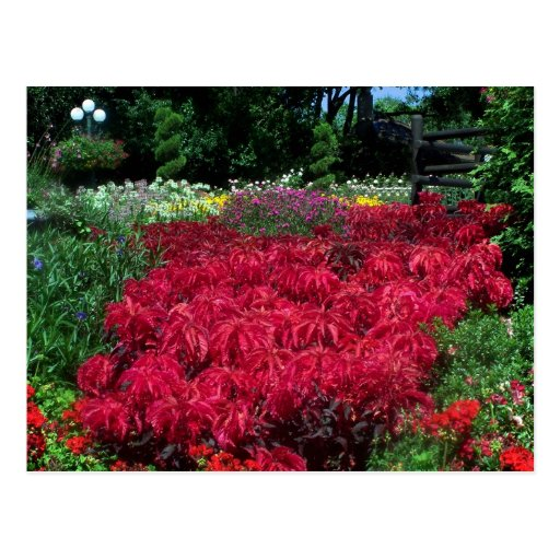 Red Flowers in English Garden Postcard