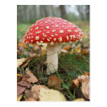 Red Fly Agaric Postcard