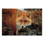 Red Fox at Cape Newenham Poster