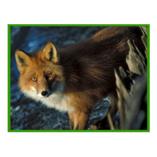 Red Fox at Shipwreck Courtney Ford Postcard
