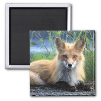 Red fox beautiful photo portrait magnet, gift magnet