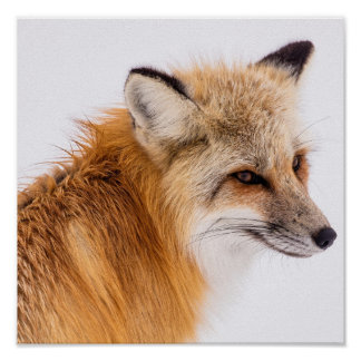 Red fox close-up poster