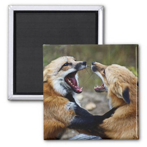 Red Fox Fight Refrigerator Magnet