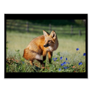 red fox flowers field blossoms poster