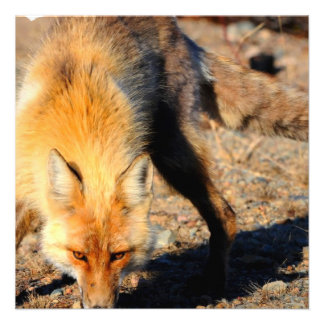 Red Fox Habitat Invitation