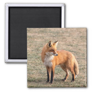 Red Fox in a field 2 Inch Square Magnet