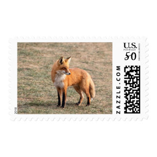 Red Fox in a field Postage