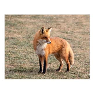 Red Fox in a field Postcard