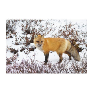 Red Fox in snow in winter Stretched Canvas Print