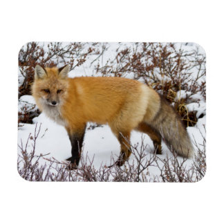 Red Fox in snow in winter Magnet