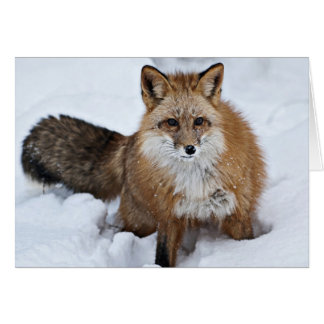 Red Fox in the Snow Greeting Cards