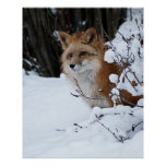 Red Fox in the Snow Print