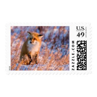 Red Fox in winter Churchill Wildlife Postage