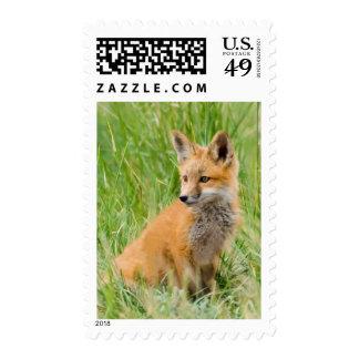 Red Fox Kit in grass near den Stamp