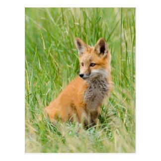 Red Fox Kit in grass near den Postcard