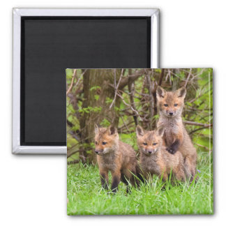 Red Fox Kits Magnet