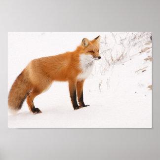 Red Fox Nature Wildlife Photo Poster
