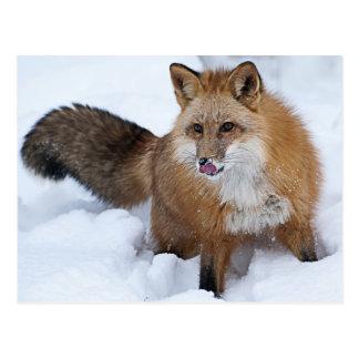 Red Fox ni the Snow Postcard