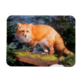 Red Fox on a log Magnet