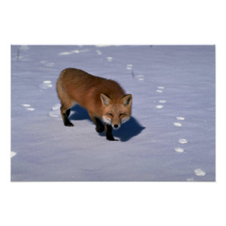 Red Fox on snow Poster